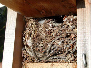 Bewick's Wren nest. Photo by Shelly Harris.