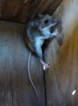 mouse in nestbox