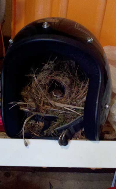 Carolina Wren nesting in a motorcycle helmet. Photo by Bet Zimmerman