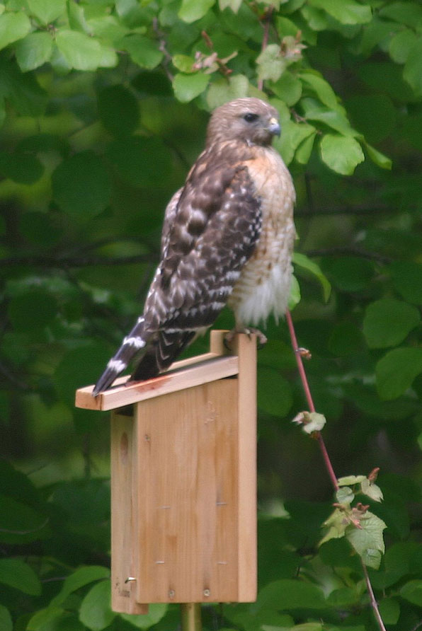 Red-shouldered Hawk on Nestbox. Photo by Linda Ruth.