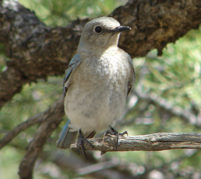 Mountain Bluebird Female, photo by Zell Lundberg