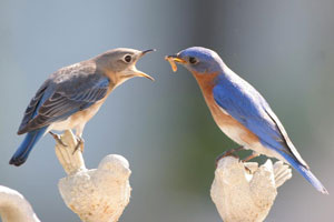 Male bluebird feeds female, photo by Dave Kinneer