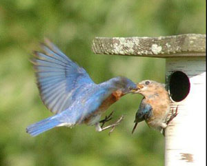 bluebird couple, photo by Wendell Long