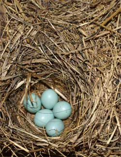Bluebird nest in paperbox. Photo by Rob Barron.