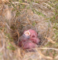 CACH nestlings.  Photo by LeAnn Sharp of TX.