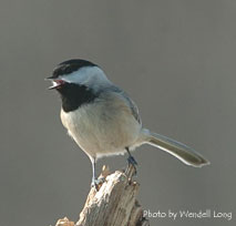 Black-capped Chickadee.  Photo by Wendell Long
