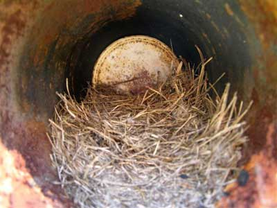 Nest in pipe. Photo by Keith Kridler.