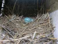 Bluebird Nest. Photo by Keith Kridler.