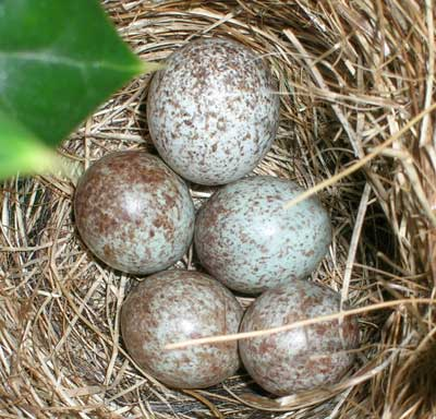 Cowbird egg in open cup nest. Photo by Jodie Tolbert.