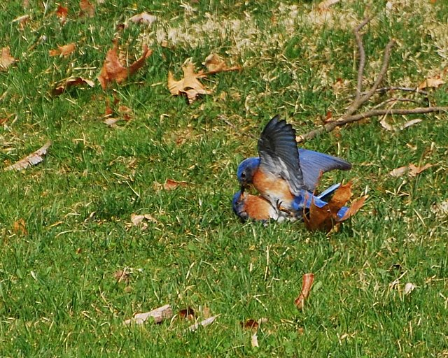 Bluebird battle. photo by Barbara Dunn