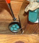 Bluebird nest underneath deck. Photo by Bill Ebert.