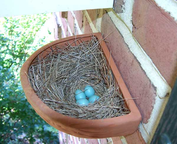 Bluebirds nesting outside a cavity.  Photo by Bill Ebert.