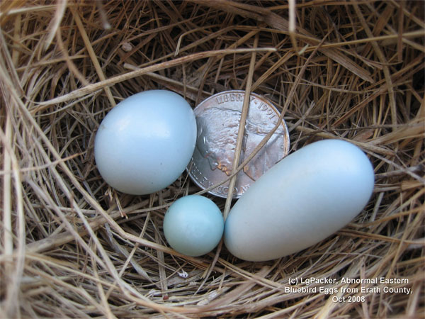 Dwarf and Double Bluebird eggs. Photo by L Packer.