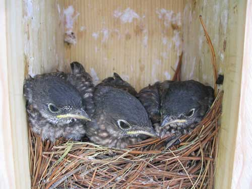 15 day old bluebird nestlings.  Photo by C.