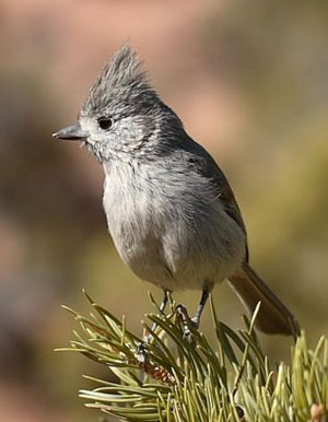 Juniper Titmouse. Wikimedia Commons photo