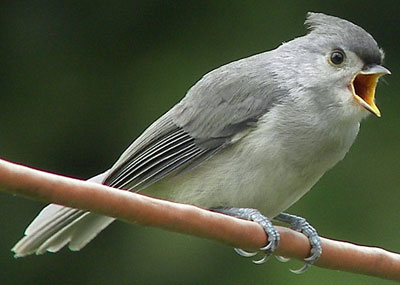 Juvenile Tufted Titmouse. Photo by Renee.