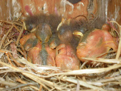 WEBL nestlings.  Photo by Earl Garrison.