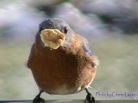 Bluebird eating suet.  Photo by Cherie Layton
