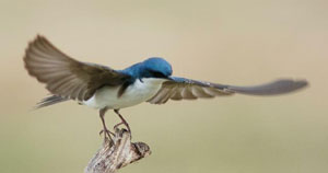 Tree Swallow. Photo by Wendell Long