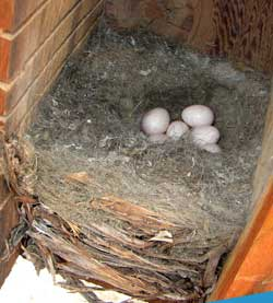 WBNU nest. Photo by Zell Lundberg