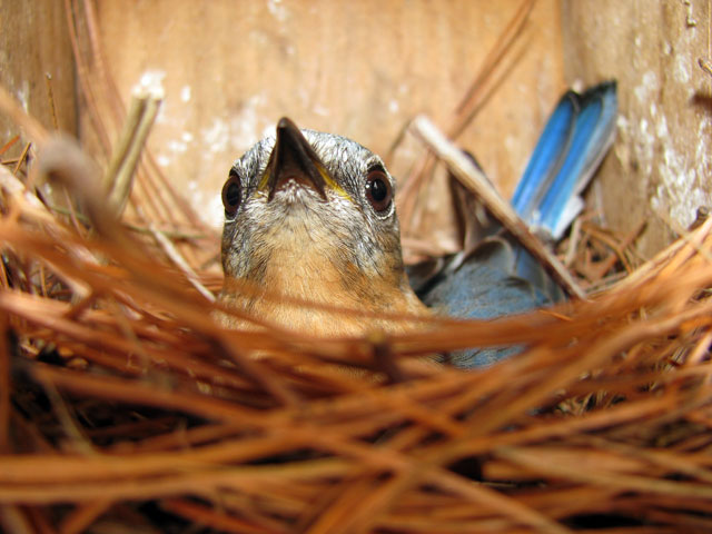 Bold Bluebird incubating. Photo by Bet Zimmerman