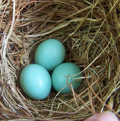 Bluebird eggs. Photo by Bet Zimmerman.