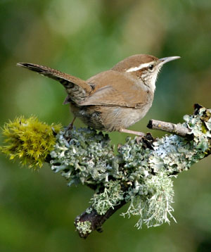 Bewick's Wren. Photo by Minette Layne, Wikimedia Commons.