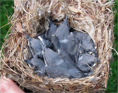 BHNU nestlings 16 days old. Photo by Vickie Fuquay