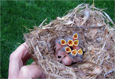 BHNU nestlings 2 days old. Photo by Vickie Fuquay