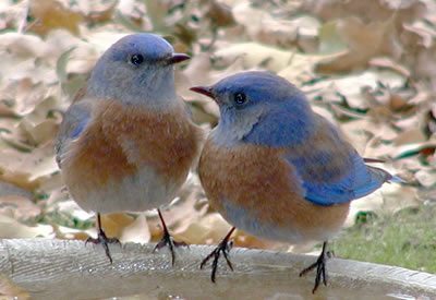 Western Bluebird adults at birdbath. Photo by Earl Garrison.