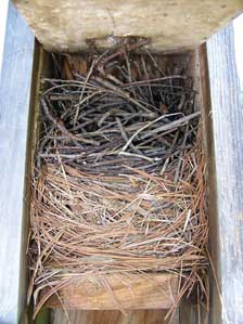 House wren dummy nest built over EABL nest which may have been abandoned.  Photo by E Zimmerman