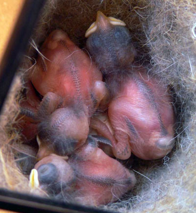 Chickadee babies. Three Days old. Photo by Pam.