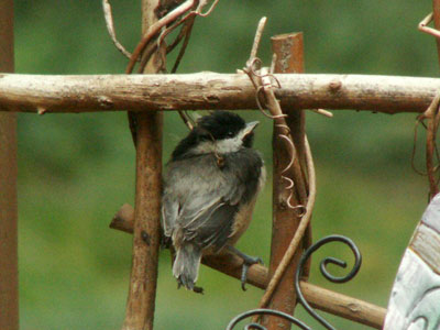 Chickadee Fledgling. Photo by Linda Moore.