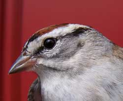 Chipping Sparrow head shot