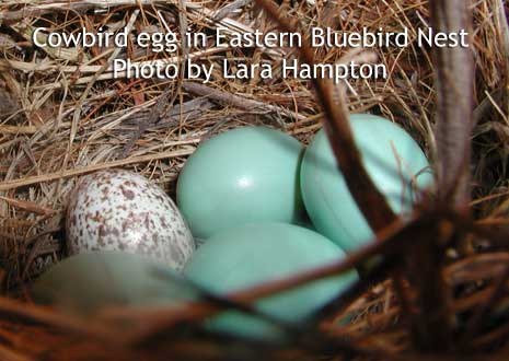 Cowbird eggf in Eastern Bluebird nest. Photo by Lara Hampton