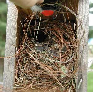 Eurasian Tree Sparrow nest in nestbox. Photo by John Curran