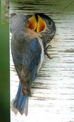 Female bluebird feeding young in a Gilbertson nestbox. Photo by Wendell Long.