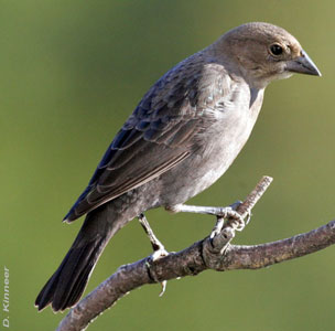 Female Brown-headed Cowbird. Photo by D. Kinneer