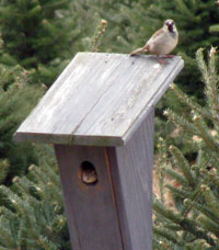 House Sparrow pair on birdhouse.  Photo by Bet Zimmerman.