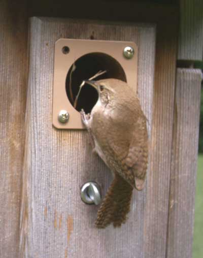 House Wren removing nesting material.