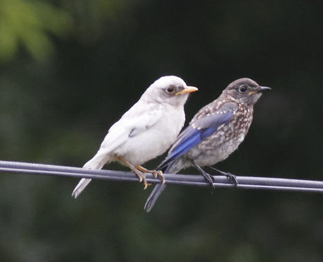 Leucistic bluebird. Photo by Barbara Houston, taken in West Point area of Virginia