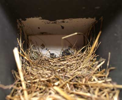 Mailbox Bluebird nest. Photo by Rob Barron.
