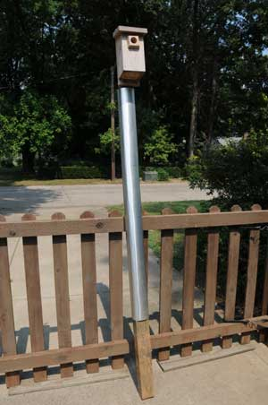 Metal flashing on pole to prevent raccoon raids.  Photo by Bob Peak.