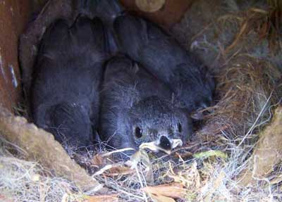 Tufted Titmice nestlings. Photo by Bet Zimmerman.