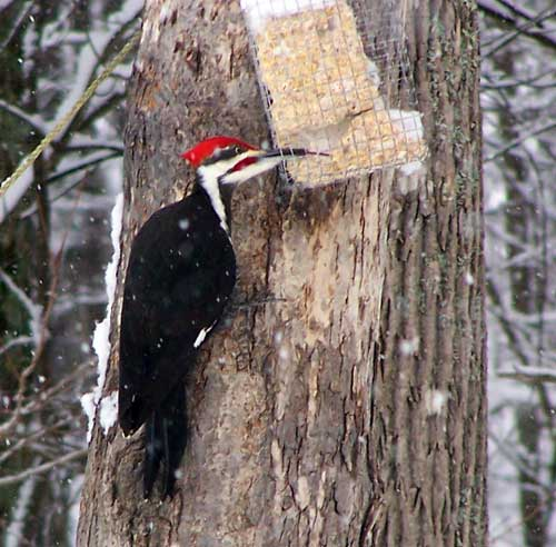 Pileated Woodpecker eating suet.  Photo by Rob and Deb Torcellini