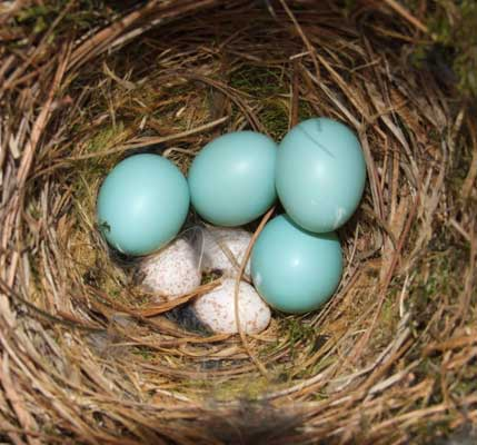 Chickadee and bluebird eggs.  Photo by Shirly Smith of FL