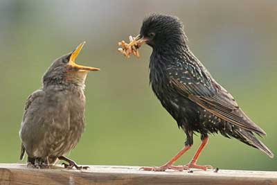 Starling feeding fledgling. Photo by Dave Kinneer