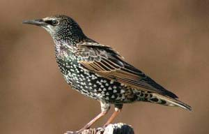 Juvenile European Starling.  Almost looks like a different species.  Photo by Wendell Long