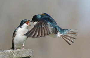 Tree swallow courtship feeding, photo by Wendell Long