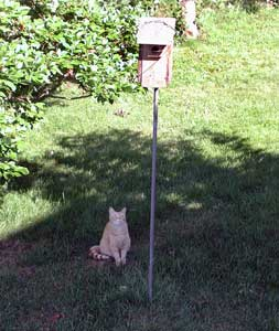 Cat waiting for fledglings.  Photo by EA Zimmerman